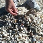 Shell bonanza on Alison Hagerup Beach/aka North Captiva Beach