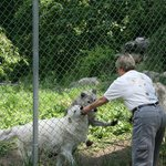 Feeding one of the ambassador wolves