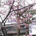 チラホラ咲きの河津桜