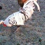 Appenzeller Spitzhaube cockerel