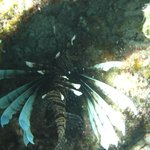 A Lionfish in Playa Pilar Reef