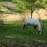An Arabian Oryx outside our room