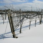 Vineyard in the winter