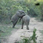 Bebês elefantes brincando