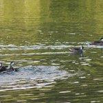White Cheek Pintails at Francis Bay Pond