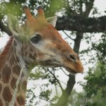 Giraffe seen on safari