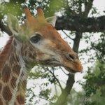 Giraffe seen on safari