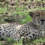 Cheetah photographed on ground at 30 feet