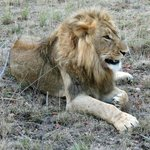 Lion on safari photographed at 10 feet (no zoom)