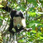 Capuchin White faced monkey we saw on Palo River tour