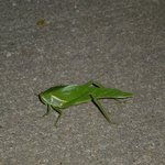 Neat green bug we saw on our sidewalk outsideour room