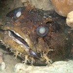 Big Eye Toadfish