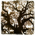 Old Oak tree outside of Black Swan Antiques