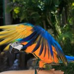 Ashmore Palms blue & gold macaw parrot