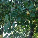 cashew trees
