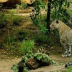 Syrian leopard