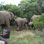 elephants passing in front of the jeep