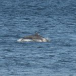 Dolphin at Spey Bay