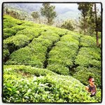 tea plantation that leads in to the retreat