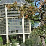 Goethe's Palm house, persimmon tree in foreground