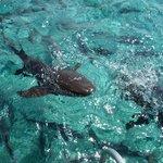 passive nurse sharks