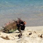 iguanas roam the beach at crystal cove