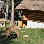 Deer beside the log cabin