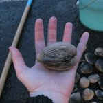 One of the biggest cockles we caught.