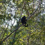 Howler monkeys live on the property.