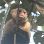 White faced capuchin monkey acting as lookout for his troop