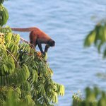 Spider monkey seen from our deck, with ocean in background