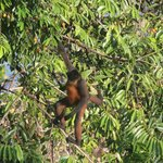 Spider monkey seen from our deck