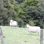 Neighbor's sheep