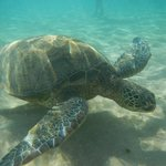 The turtle that was hanging out in the shallows in front of