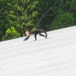 View of the monkeys you will see on the rooftops.