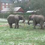 Elephants playing with a stick