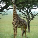 Giraffe in the Mara Triangle