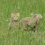 baby cheetahs in the Mara Triange