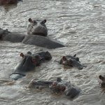 Hippos taken on hot air balloon flight