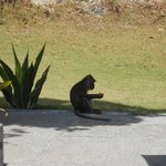 Monkeys stealing fruit!