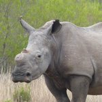 Hornless White Rhino
