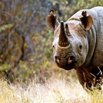 Zulu - awesome Black Rhino