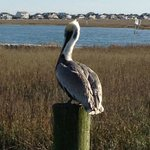 Pelican along the Marsh Walk
