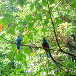 Both Quetzals feed their young