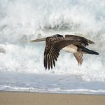 Pelican on the crashing waves