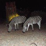 Zebra beim Abendessen