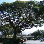 Monkey bud tree in parking lot of Aston Paki Maui