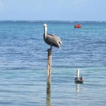 pelicans r great at caye caulker  belize