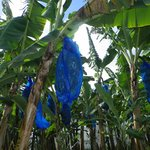 Cosol Tours - covered bananas
