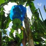 Cosol Tours - Banana plantation